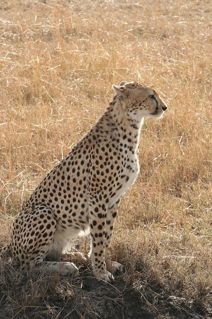 Cheetah, Sitting Cheetah, Kenya, Africa