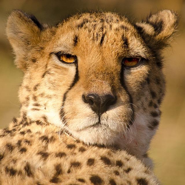 Cheetah, Fast, Cat, Big Cat, Predator, Stains