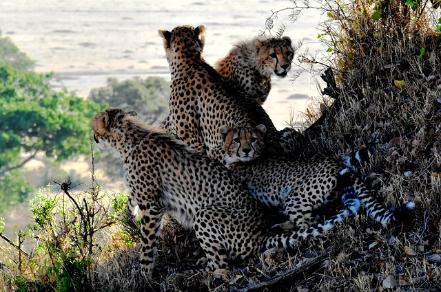 Cheetah, Family, Animals, Tanzania, Nature, Wildlife