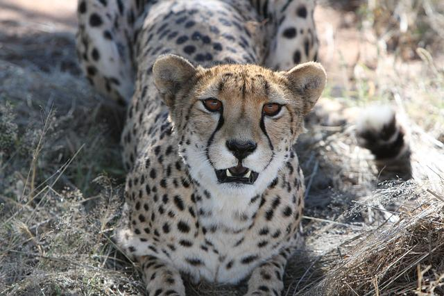 Cheetah, Predator, Namibia, Wild, Nature, Wilderness