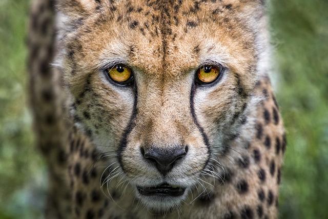Cheetah, Big Cat, Predator, Wild Animal, Nature, Animal