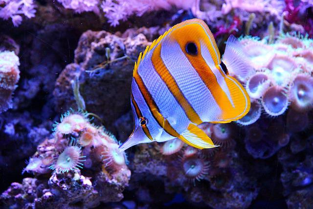 Butterfly Fish, Fish, Chelmon Rostratus, Tweezers