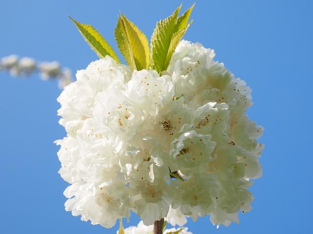 Cherry Blossom, White, Cherry, Spring, Blossom, Bloom