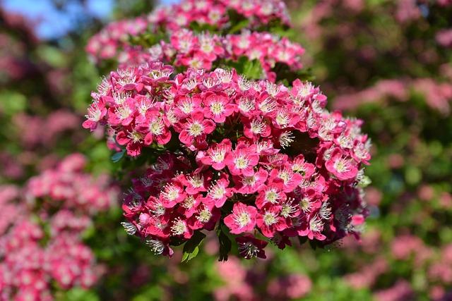 Cherry, Floral, Plants, Natural, Blossom, Bloom, Petals