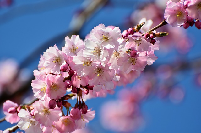 Cherry Blossom, Ornamental Cherry
