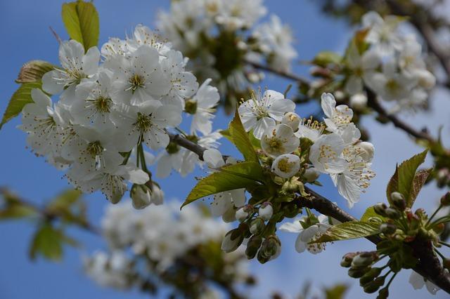 Plant, Cherry, Blossom, Bloom