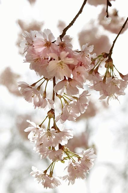 Cherry Blossom Time, Kirch Blossoms, Spring, Flowers