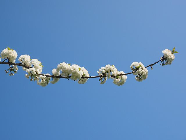 Cherry Blossom, White, Cherry, Spring, Blossom, Bloom