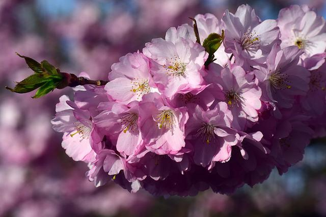 Cherry Blossoms, Ornamental Cherry, Cherry, Blossom