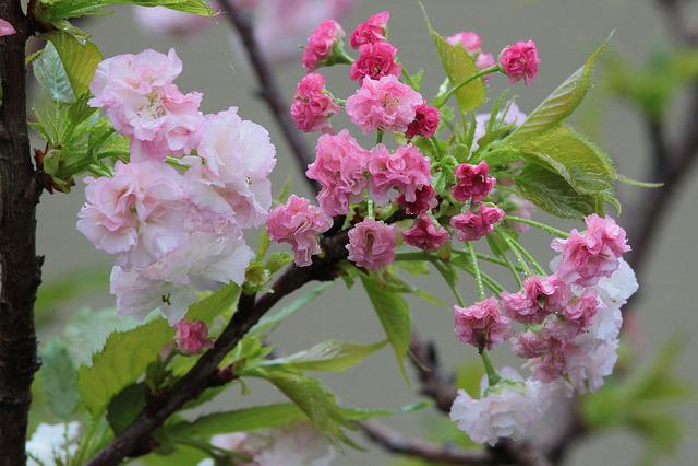 Flower, Cherry Blossoms, Chrysanthemum Cherry