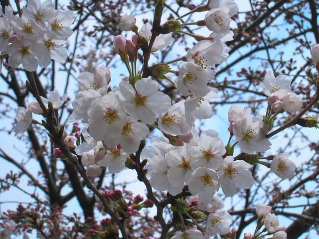 Cherry Blossoms, Yoshino Cherry Tree, Tree, Pale Pink