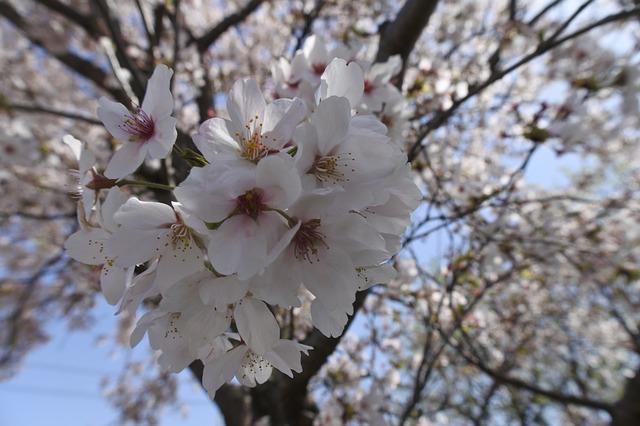 Cherry Blossoms, Spring Flowers, Spring, Wood, Cherry