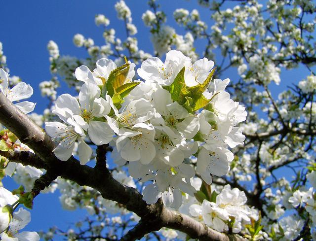 Cherry Blossoms, Fruit Tree, White Flower