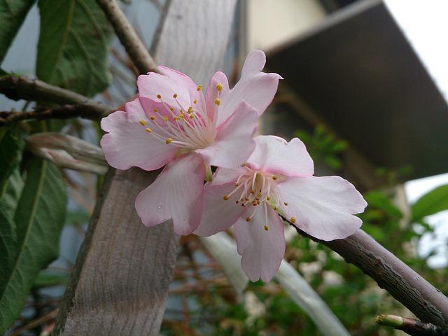 Cherry Blossoms, Spring, Wikiproject Taiwan