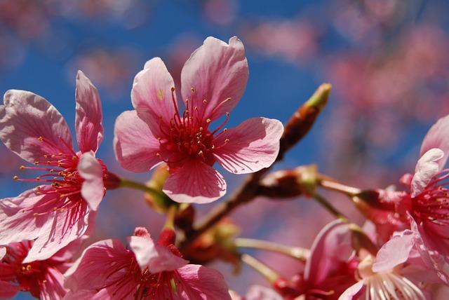 Flower, Cherry Blossoms, 櫻 Pink Flower, Natural, Cherry