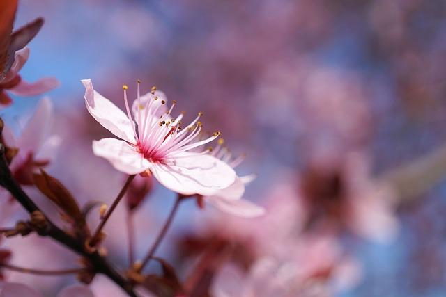 Spring, Cherry Blossom, Cherry Flower, Cherry, Flower