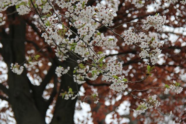 Flower, Cherry, Tree, Flora, Nature, Branch, Leaf