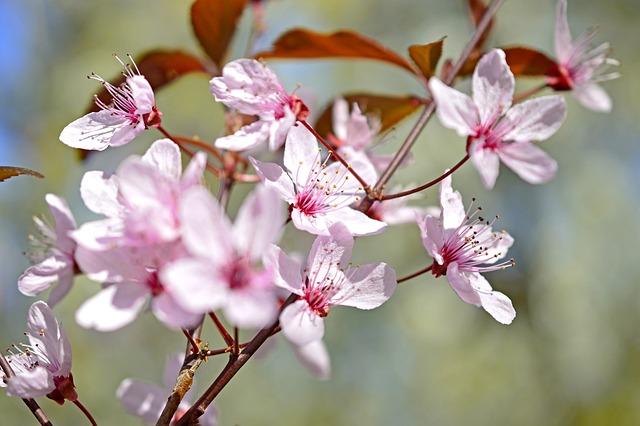 Blood Plum, Prunus Cerasifera, Cherry Plum, Flowers