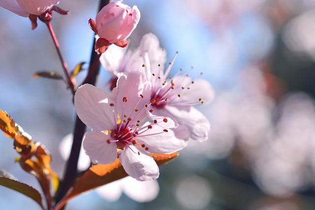 Blood Plum, Prunus Cerasifera, Cherry Plum, Blossom