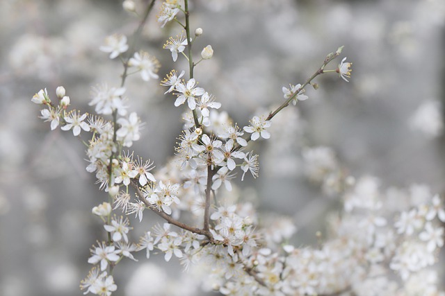 Flowering Twig, Flowers, Cherry Plum, Prunus