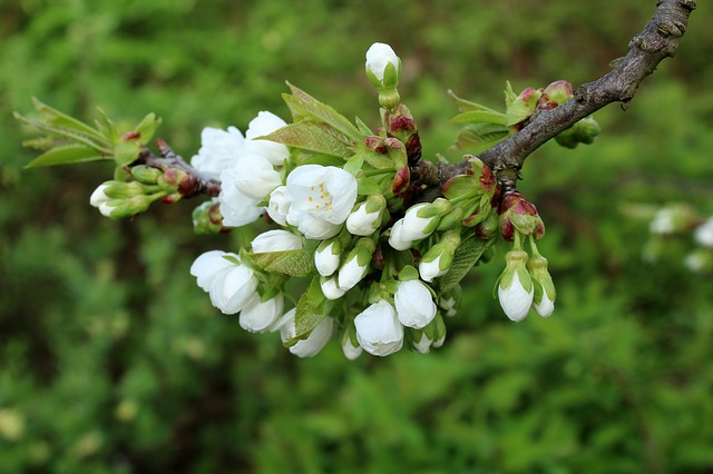 Cherry, The Buds, Fruit Trees, Spring, Nature