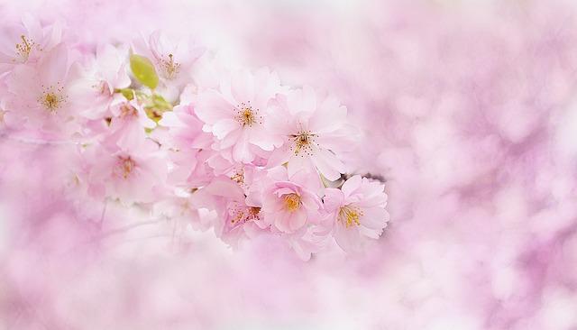 Cherry Blossoms, Cherry Tree, Cherry Blossom, Tree
