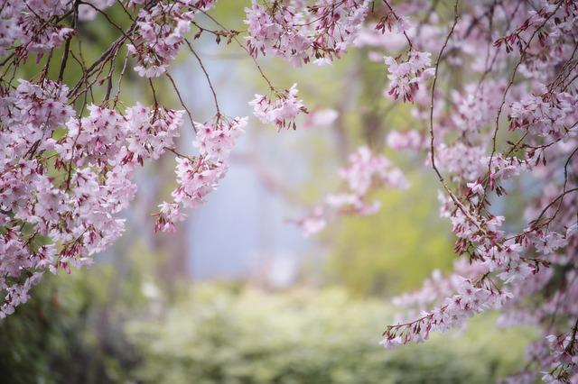 Pink, Spring, Nature, Garden, Flower, Cherry Tree