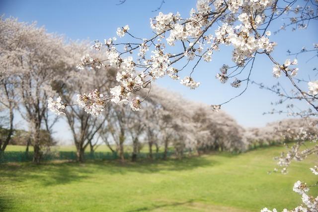 Korea, Cherry, Flowers, Field, Spring, Trees