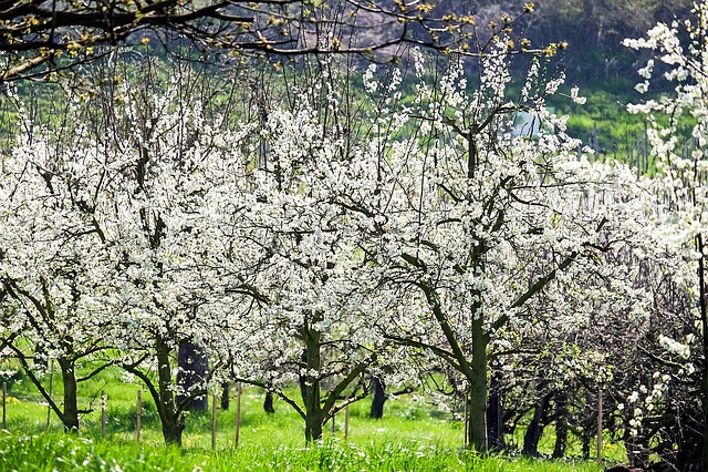 Cherry Trees, Bloom, Cherry Blossoms, White