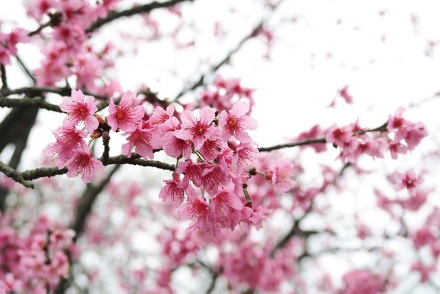 Cherry Wood, Branch, Flower, Tree