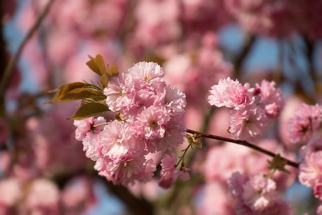 Flower, Cherry Wood, Branch, Plant