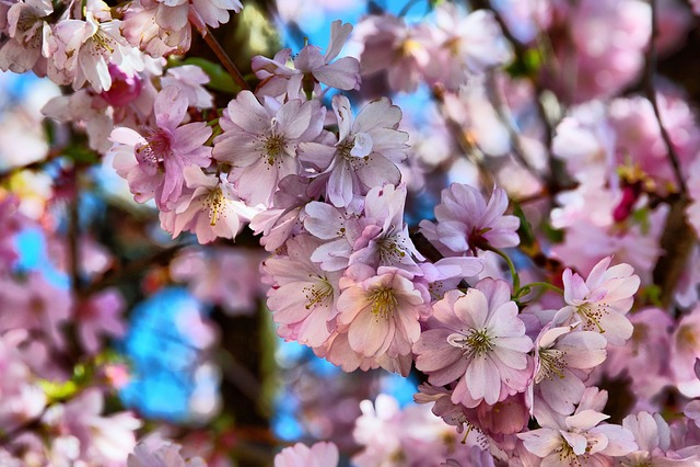 Flower, Cherry Wood, Plant, Branch, Garden, Bud, Tree