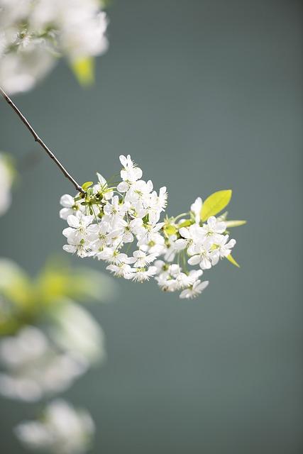 Flower, Nature, Plant, Branch, Wood, Cherry, Garden