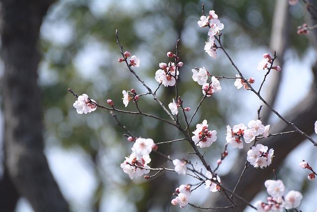 Tree, Branch, Cherry Wood, Season