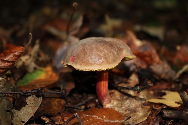 Chestnut, Mushroom, Cep, Autumn, Forest Mushroom