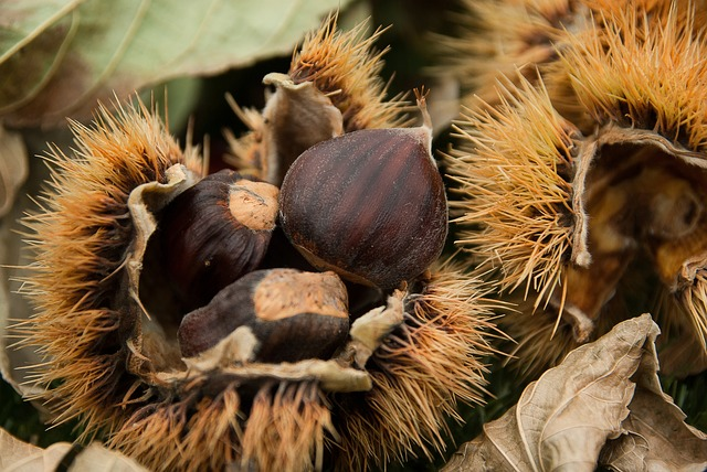 Chestnuts, Quills, Chestnut, Fall, Forest