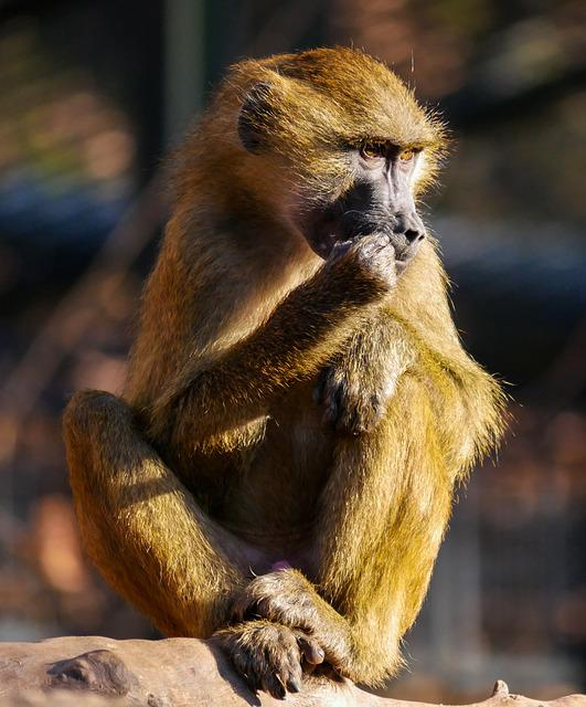 Animals, Ape, Barbary Ape, Animal Portrait, Eat, Chew