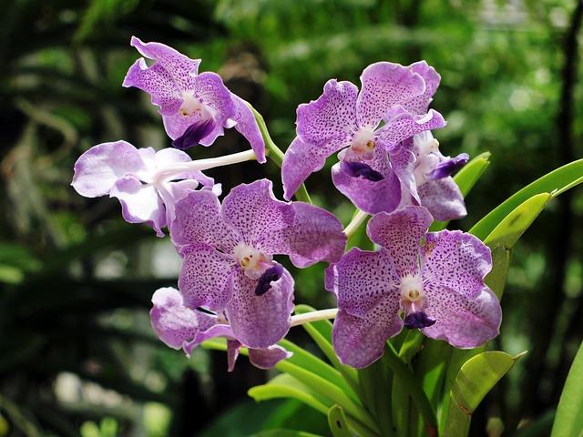 Orchid Purebred, Chiang Mai Thailand, Xitgmlwmp