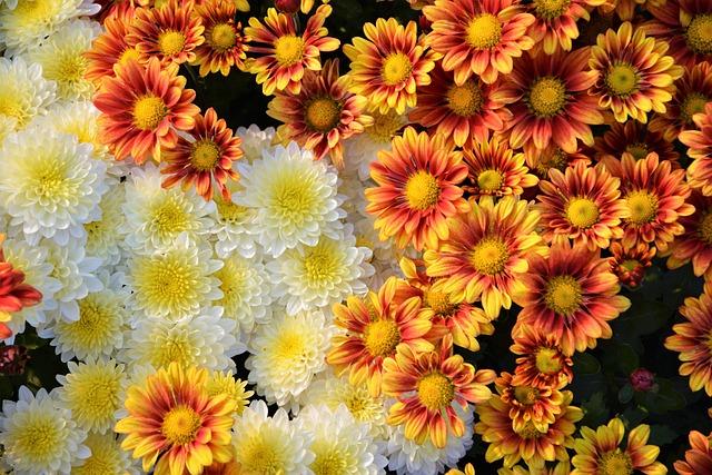 Flower, Chichewa Live, Vivid Color, Flowers