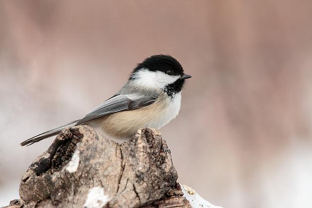 Wild, Nature, Small, Bird, Winter, Chickadee, Pastel