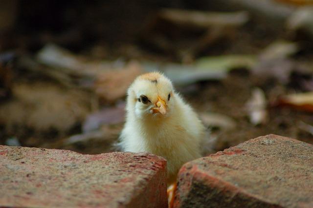 Animal, Compact, Chicken, Wildlife