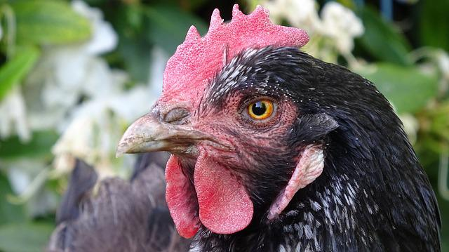 Chicken, Poultry, Chickens, Hen, Plumage, Farm