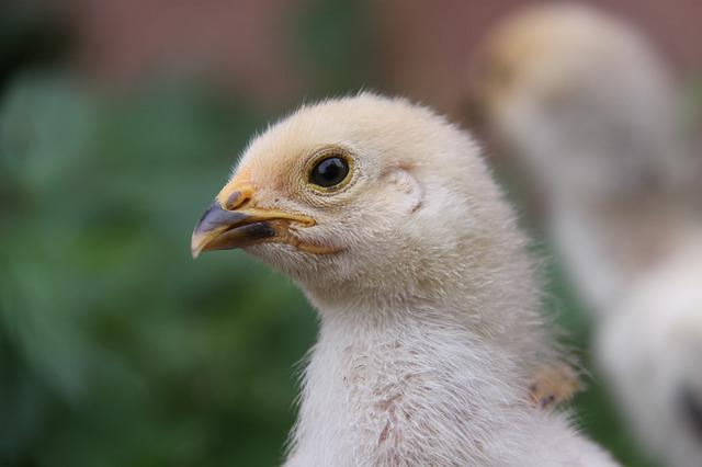 Chicken, Chicks, Fluff, Young, Poultry, Brahma