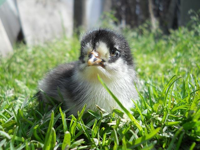 Chicken, Nature, Green, Animals, Stretched, Grass