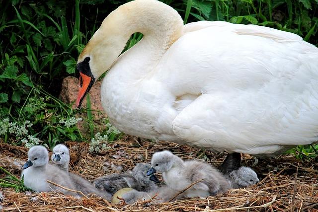 Swan, Chicken, Swan Kücken, Nest, Water Bird