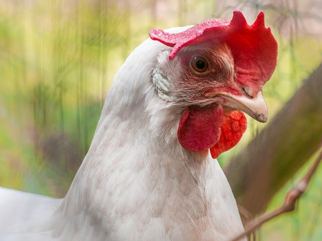 Chicken, Poultry, Animal