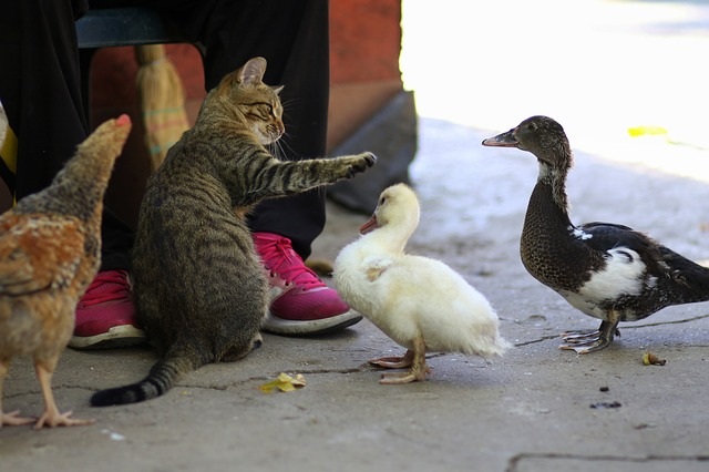 Cat, Rate, Chicken, Friends, Pet, Food, Cute