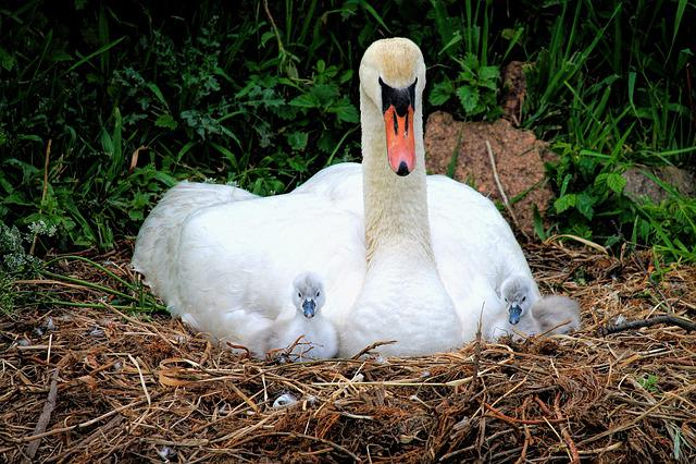 Swan, Nest, Chicken, Swan's Nest, Water Bird