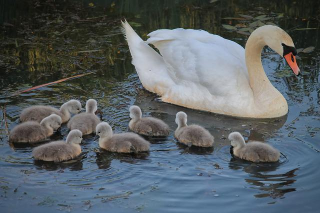 Swan, Chicken, Swan Kücken, Water Bird, Waters