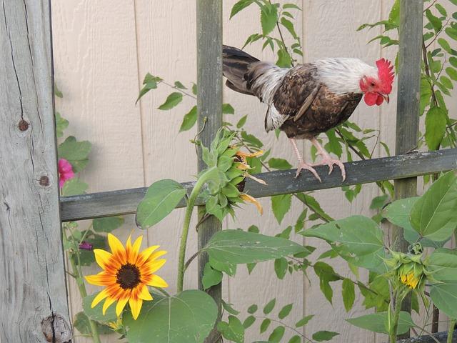 Bantam, Rooster, Chickens, Farm, Domestic